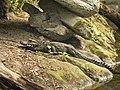 Breedvoorhoofdkrokodil (41389358971).jpg