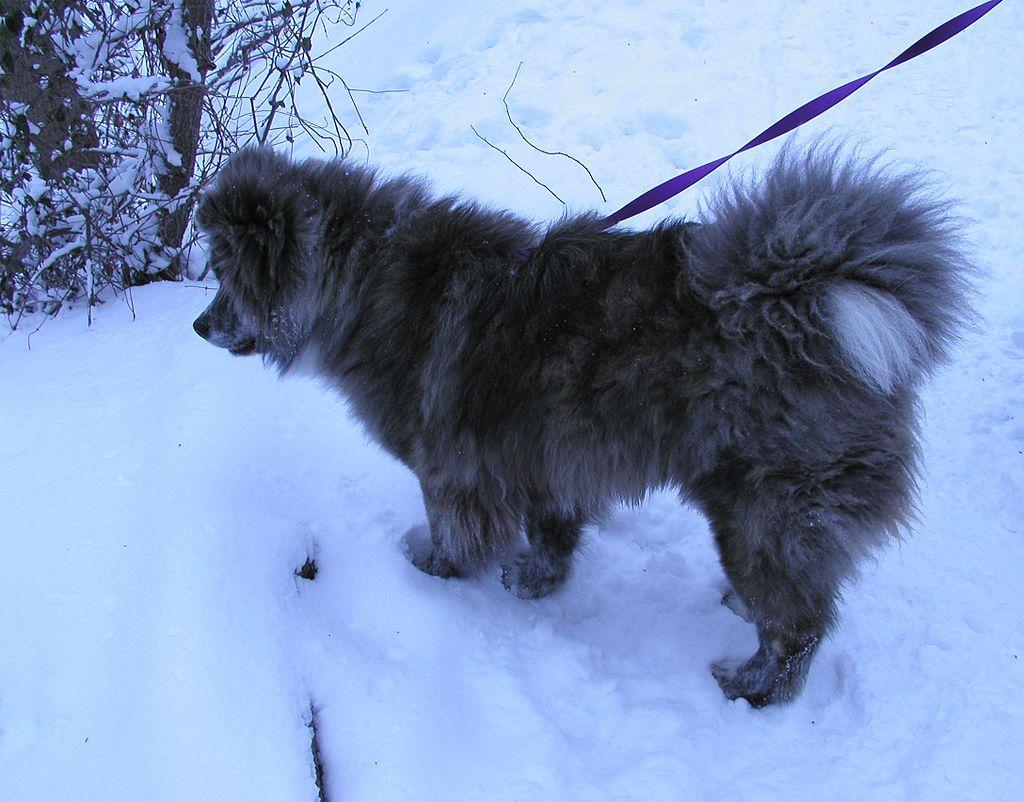 Akita Inu en la nieve