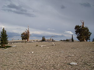 Ancient Bristlecone Pine Forest - Ancient Bristlecone Pine Forest