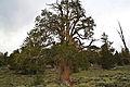 Bristlecone Pine Forest.jpg