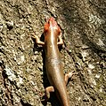 Broadhead Skink (Eumeces -Plestiodon- laticeps) (37594988575).jpg