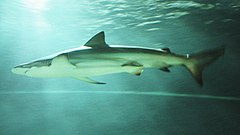 A bronze shark with a white belly and a triangular dorsal fin, viewed against the sunlit water surface