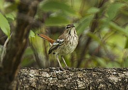 Brown-backed Scrub-Robin - Uganda H8O5869 (19177263319).jpg
