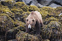 Brown Bear On Sea Rocks.jpg