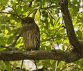 Brown Fish OWL.jpg