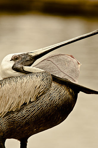 Brown pelican - Brown pelican showing throat pouch