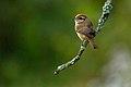 Brown Shrike DSC6017.jpg