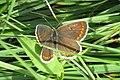 Brown argus (Hav) (8063597763).jpg