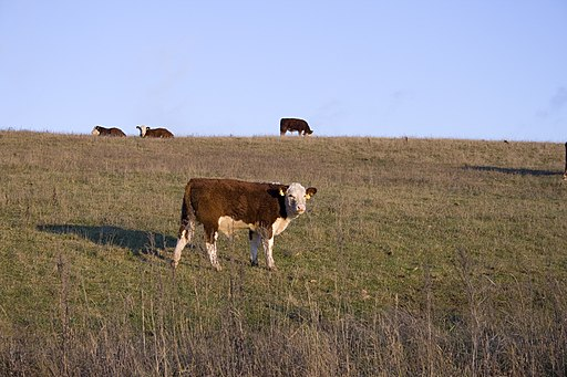 Brown cow in a field