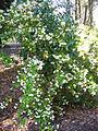 Brunfelsia lactea — Scott Zona 002.jpg