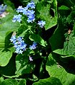 Brunnera macrophylla Great Forget-me-not ციურა.JPG