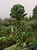 Brussel Sprouts (6498386487c)