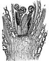 Bryophyta 15.png