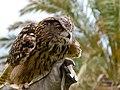 Bubo bubo - eagle owl - grand-duc - Uhu 01.jpg