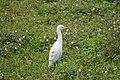 Bubulcus coromandus 02261.jpg