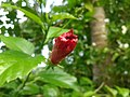 Bud of Hibiscus Rosa-sinensis.jpg