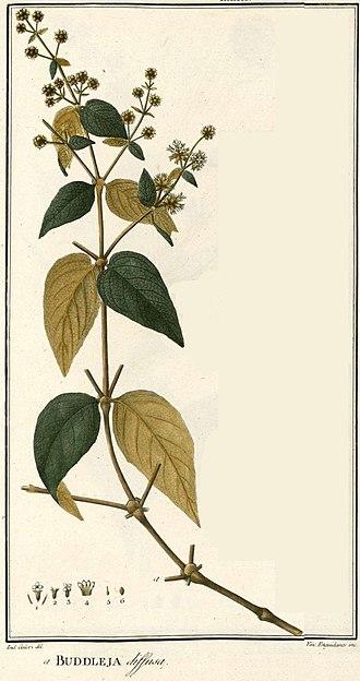 Buddleja diffusa - Image: Buddleja diffusa Ruiz Lopez, H., Pavon, J., Flora Peruviana, et Chilensis, vol. 1 Plates 1 152 (1798 1802) 187339 (crop)