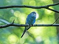 Budgie in Central Park (90330).jpg