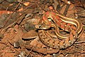 Buff striped keelback David Raju.jpg