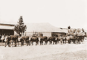 Bullocky - Bullock team hauling wool on a dray, Walcha, New South Wales