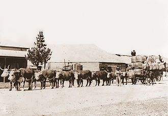 Transport - A bullock team hauling wool in Australia