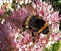 Bumblebee on Sedum - geograph.org.uk - 665960.jpg