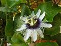 Bunga Markisa - panoramio.jpg