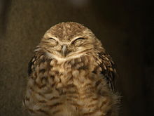 Burrowing owl smile.jpg