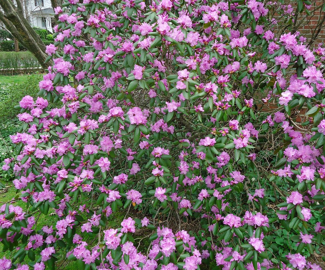 Shrubs with purple flowers pictures - File Bush With Purple Flowers Summit Nj Jpg