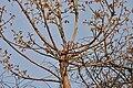 Butea monosperma young leaves W IMG 7643.jpg