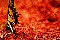 Butterfly (7718019030).jpg