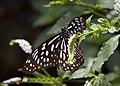 Butterfly 4s (5662436773).jpg