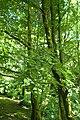 Buxus colchica kz2.jpg