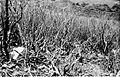 COLLECTIE TROPENMUSEUM Door de eruptie van de vulkaan Gede West-Java is de begroeiing nabij de triangulatiepilaar op het hoogste punt van de kraterrand (ca. 2900 meter boven de zeespiegel) beschadigd TMnr 10004326.jpg