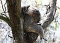 CSIRO ScienceImage 3475 Koala Coolart Victoria.jpg