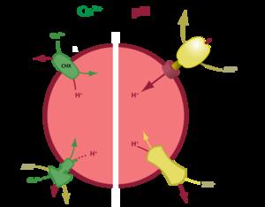 Nicotinic acid adenine dinucleotide phosphate - Image: Ca Storage