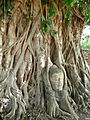 Cabeza de Buda atrapada en un ficus elástico..JPG