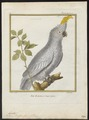 Cacatua buffoni - 1700-1880 - Print - Iconographia Zoologica - Special Collections University of Amsterdam - UBA01 IZ18600017.tif