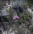 Cactus Flower, Writing-on-Stone Provincial Park (25732366570).jpg