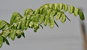 Nickernut - Image: Caesalpinia bonduc leaves W IMG 6706