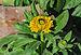 Calendula officinalis 26122014 (2).jpg