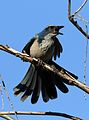 California scrub jay, Aphelocoma californica, along the Guadalupe River in Santa Clara, California, USA (30838573852).jpg