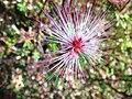 Calliandra-eriophylla-20080405.JPG