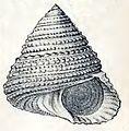 Calliostoma spectabile 001.jpg