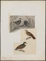 Caloenas criniger - 1700-1880 - Print - Iconographia Zoologica - Special Collections University of Amsterdam - UBA01 IZ15600299.tif