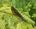 Calopteryx-splendens-031.jpg