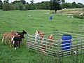 Calves in field - geograph.org.uk - 473336.jpg