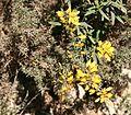Calycotome villosa2 .jpg
