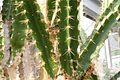 Calymmanthium substerile pm.jpg