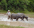 Cambodia buffaloes in paddy fields.jpg